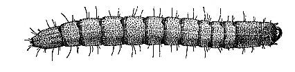 wireworm (23k image)